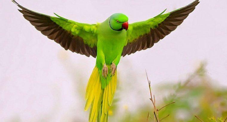 beautiful-parrot